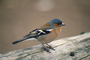 adult male Chaffinch