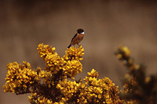 Gorse with Stonechat